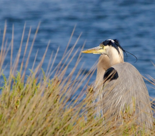 Where will a heron find a home? Near an ocean or lagoon or riparian zone? Without a roommate, the choices are few...