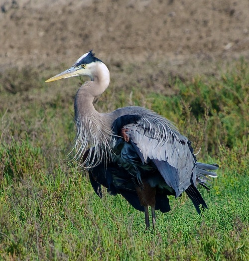 "Where will a heron find a home? In Galveston, Taos, or San Antone? ""Although I wait tables I'm really an actor and not at all jerky. Everyone loves my impression of a turkey!"""