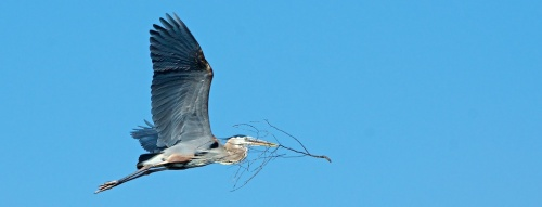 "Where will a heron find a home? In Memphis, Brea, or El Cajon? ""I'll need a roommate,"" our hero sighs, ""cuz an ocean view ain't no small fries."""