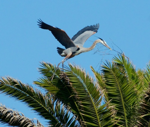 ...but then he found a palm tree by the Bolsa Chica slough, built a bachelor's nest and bid us adieu.  Except he pronounced it wrong, and it didn't rhyme with slough.