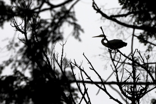 As close as I got to a heron photo at the rookery. That said, the experience itself was magnificent.