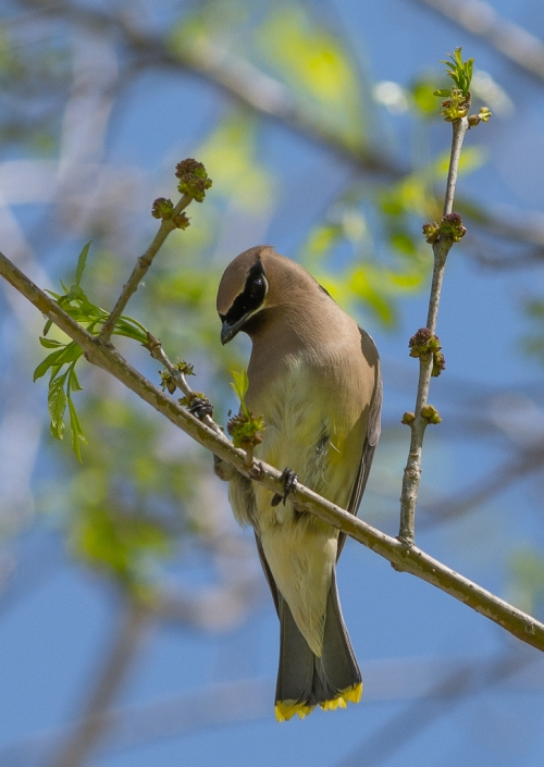 I got to see and photograph some Cedar Waxwings at Soule Park.